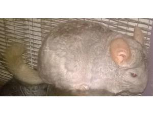 Wanted one male chinchilla adult or kit. in Llanfyrnach