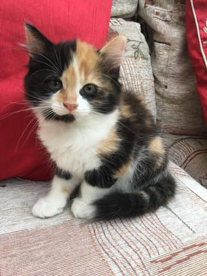 Multi coloured 2 month old kitten ready to go!