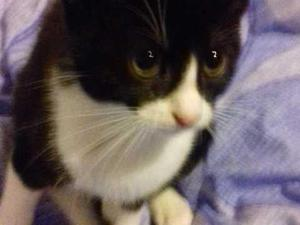 1 cute black and white ragdoll cross kittens for sale