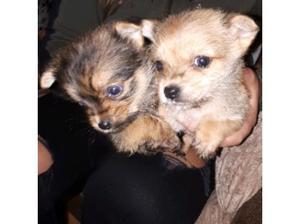 3 baby norlfick terrier for sale in Epsom