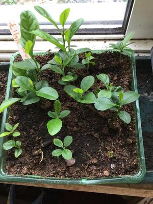 Healthy baby Lemon plants