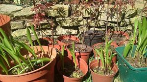 Small Japanese acer trees with lily of the valley plants