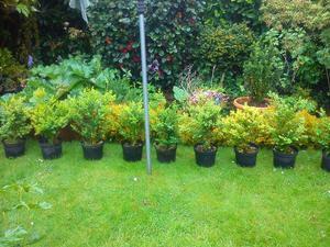 instant evergreen hedge