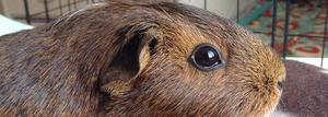 Female guinea pig for rehoming