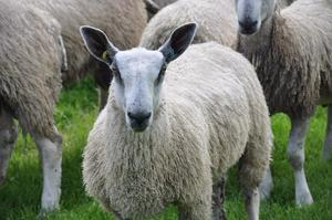 Bluefaced Leicester Ram Lambs