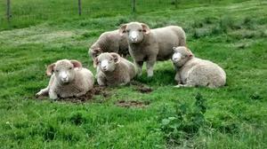 Dorset Horn Rams