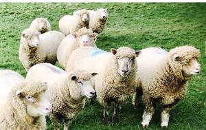 Dorset and PB Dorset Gimmer Lambs for Sale