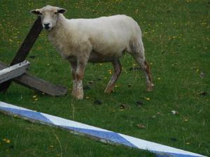 Dorset x Badgerface ewe shearlings