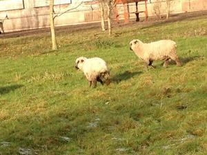 Hampshire down ewe lambs