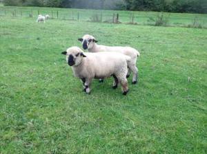 Hampshire down ram lambs