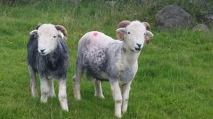 Herdwick shearling tups