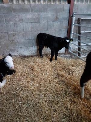 Hereford & Angus x Calves