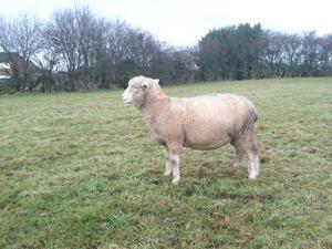 Pure bred Poll Dorset shearlings ran with ram