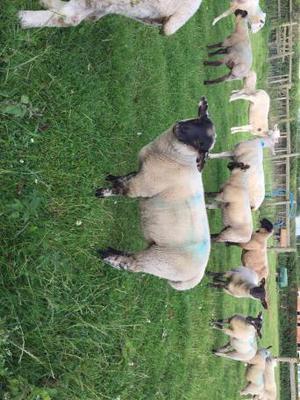 Suffolk cross ram lamb