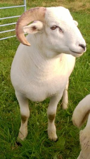 Wiltshire horn ram lamb