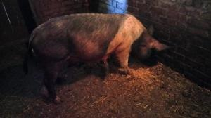 Pedigree Hampshire Sow For Sale
