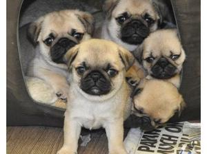 amazing quality blue, tan & cream carrier pugs in Newham