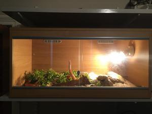 Corn snake with vivarium & accessories