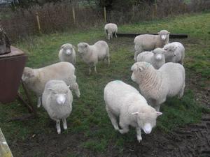 Poll Dorset/Dorset Horn lambs