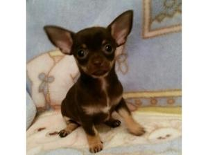 chihuahua x puppies in Lowestoft