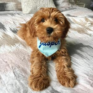 Love spoiled labradoodle for a new home