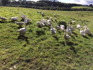 Norfolk Geese