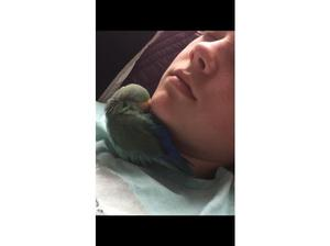 Lovebird male 2y very tame in Leicester