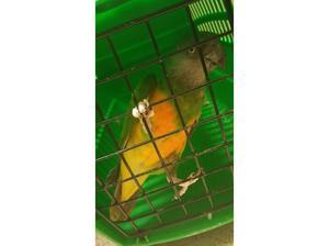senagal aviary bird NO OFFERS in Bradford