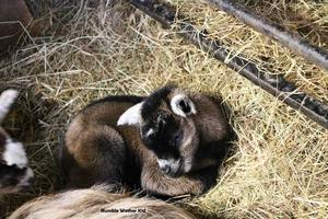 Pygmy Goat Wether Kids - Available at Weaning