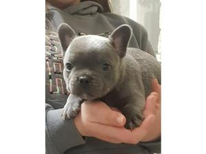 3/4 Frenchbulldog x Staffordshire Bull Terrier in St.