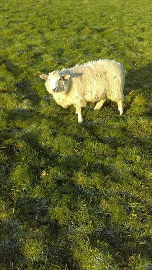 4 Dorset x Ewes