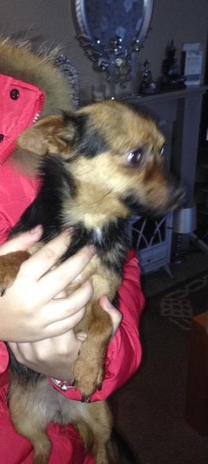 Beautiful Yorkshire terrier x chihuahua girl for sale
