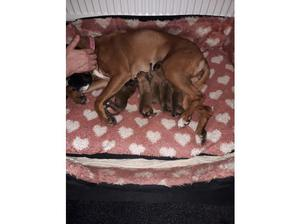Boxer puppies for sale in Rotherham