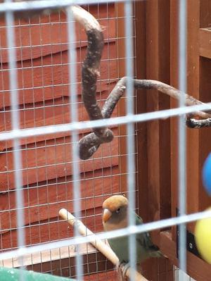Fischers Lovebird Hybrid