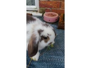 Mini lop for sale in Eastbourne