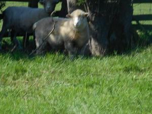 Poll Dorset ewe lambs