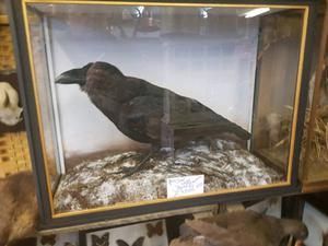Very Large Taxidermy cased Raven