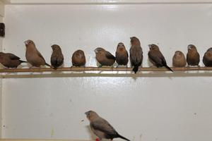 Young Silverbills for Sale