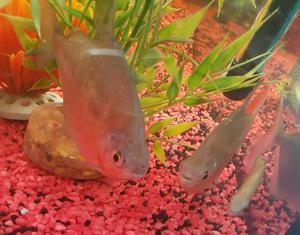 Community fish posot class for Silver dollar fish for sale