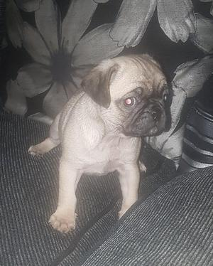Fawn pugs cream blue and at carriers