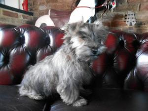 Yorkshire Terrier x West Highland Terrier puppy