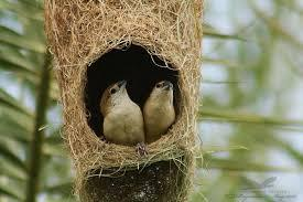 BABY AFRICAN SILVERBILLS FOR SALE