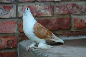 Garden Doves all colours