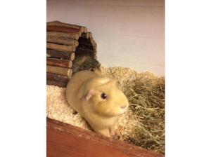The Potteries Guinea Pig Rescue in Stoke On Trent