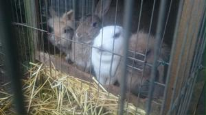 Rabbits and one Guinea Pig