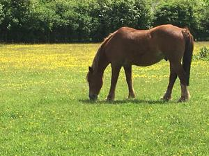 Forever home wanted for companion horse