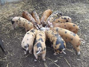 Oxford Sandy and Black Pigs For Sale