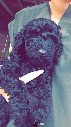 TOY POODLE PUPS 1ST FEB READY