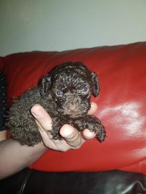 EXCLUSIVE KC REG CHOCOLATE TINY TOY POODLE