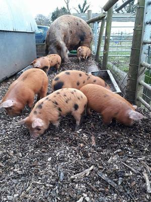 Purebred Oxford Sandy and Black weaners piglets OSB
